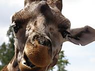 Žirafa (maddog44)