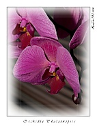 Orchidea (hp708)